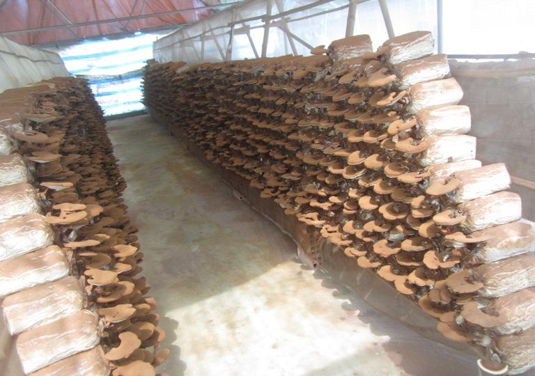 Trang trại Linh Chi Nông Lâm